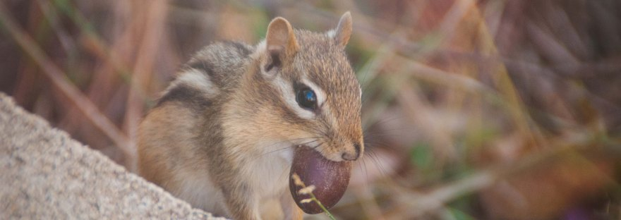 Chipmunks are amazingly cute members of the rodent family, each with their own personality!