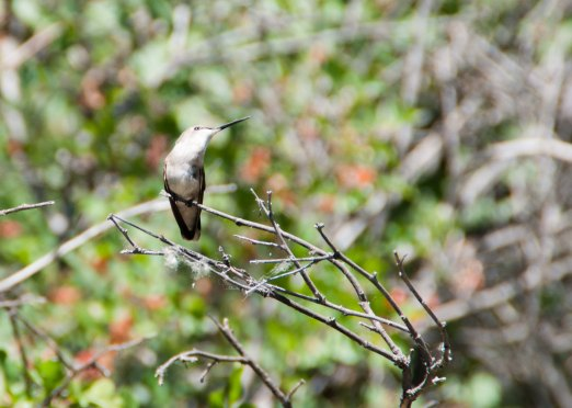 This female hummingbird has some incredible adaptations to help her survive in the wild. Here in Bosque Del Apache, her needs are met with the nectar from many flowers!