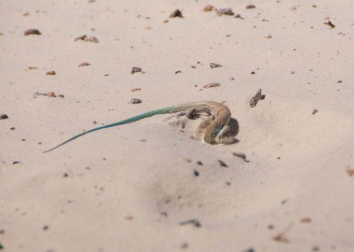 This Little Whiptail digs in the dirt in search of groundwater. It's amazing how much cooler the gypsum gets even just one inch down!