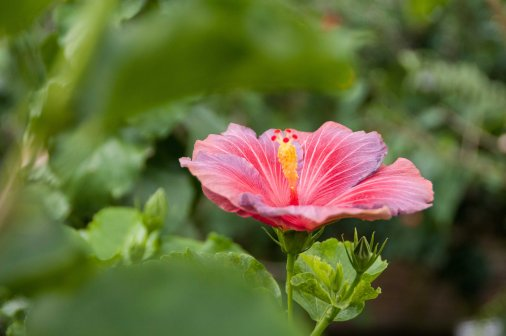 Colorful hibiscus plants definitely help to brighten up a cloudy day! Knowing plant temperature requirements (this is a tropical plant that doesn't like PA winters!) will help you care for it year-round!