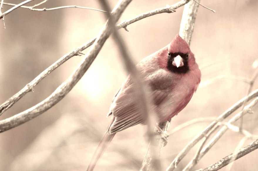 Cardinals need to eat a lot of fatty seeds in order to stay warm all winter!
