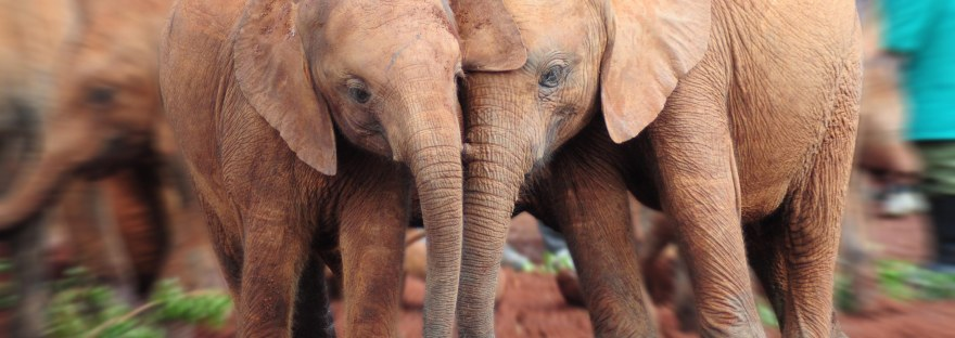 Baby elephants (not more than 2 1/2 years old!) who have been impacted by the poaching industry at David Sheldrick's Wildlife Trust