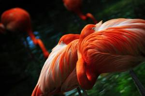 Did you know that a group of Flamingos is called a Flamboyance? These amazing birds are under threat of climate change, but fortunately, are being protected.