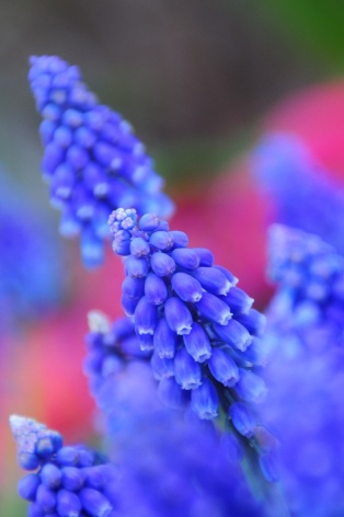 grape hyacinth small