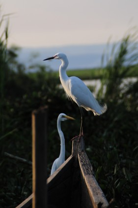 The Great Egret and the Little Egret are both common wading birds near Lake Victoria.