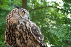 The Great Eagle Owl may not be found in American, but it's relative, the Great Horned Owl does!