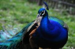 "Peacocks are one of the most easily identifiable birds with their bright and flamboyant plumage. Protecting all species, even the small, less colorful ones are just as important as protecting the ""pretty"" ones we love!"