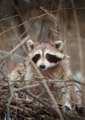 Masked bandits like this one leave little hand prints all over forest trails! Raccoons are opportunistic feeders and can be found anywhere that food exists!