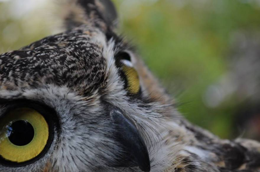 Owls are more than just cute balls of feathers! They play an important part in our ecosystem!