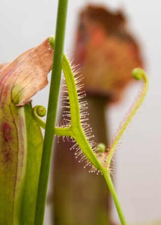 Here you can see how the tips of the leaves of the Sundew plant will curl up. The tiny hairs prevent ANYTHING from escaping.