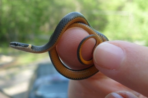 Look at him! He's so cute! This tiny, common Pennsylvania snake is an large part of the ecosystem.