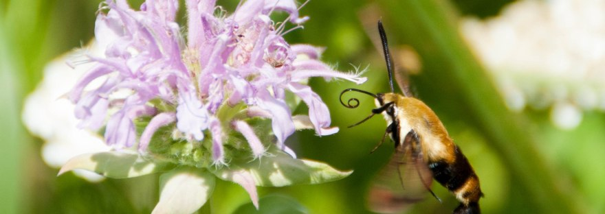 This hummingbird moth is one of many species that absolutely loves the native flowers here in PA! It particularly enjoys this Bee Balm flower.