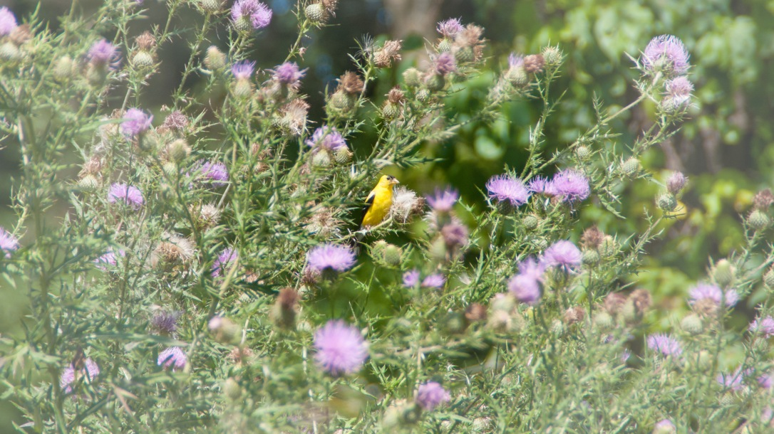 This thistle provides perfect food for these lovely yellow finches!