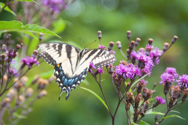 Eastern Tiger Swallowtail caterpillars love Cherry trees,  Willows, Tulip Poplars, Birches, and Ash trees while the adult butterfly likes Lilacs, various milkweeds, Joe Pye weed, and even some types of flowering trees like Cherry!