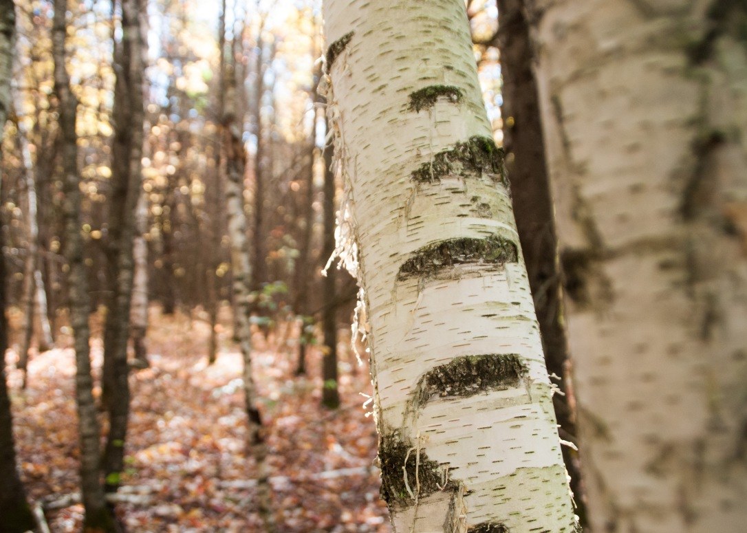 This White Birch caught my eye with it's large, horizontal lenticels and thin strips of exfoliating, white bark!