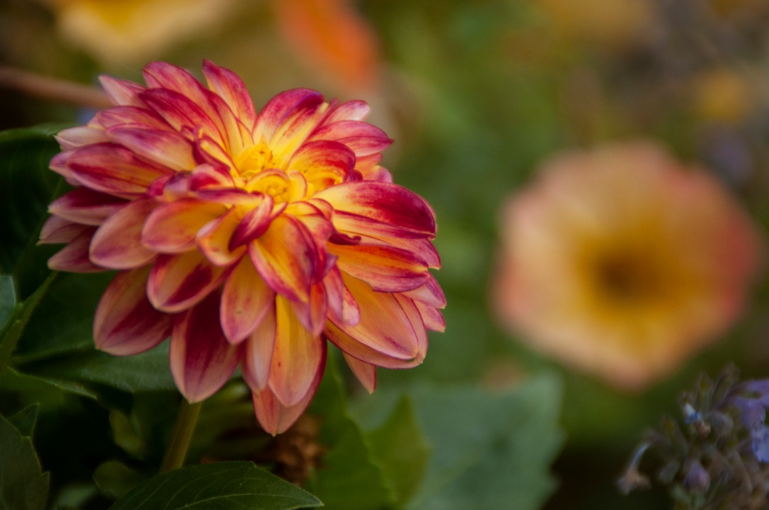 I have recently grown to LOVE dahlias! There are so many varieties out there in so many different colors! They do require some extra love, but are so worth it.